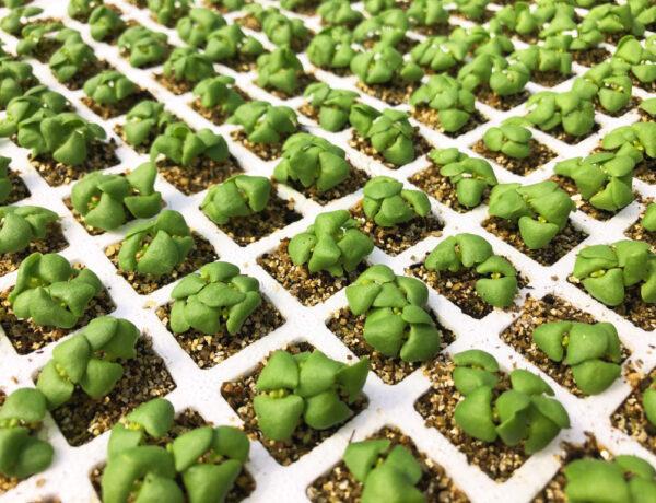 Plantel Babyplant