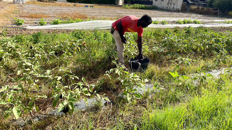 Agricultor ecológico berenjena